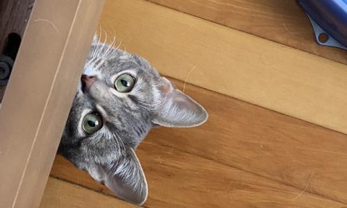 unplanned cat adoption costs